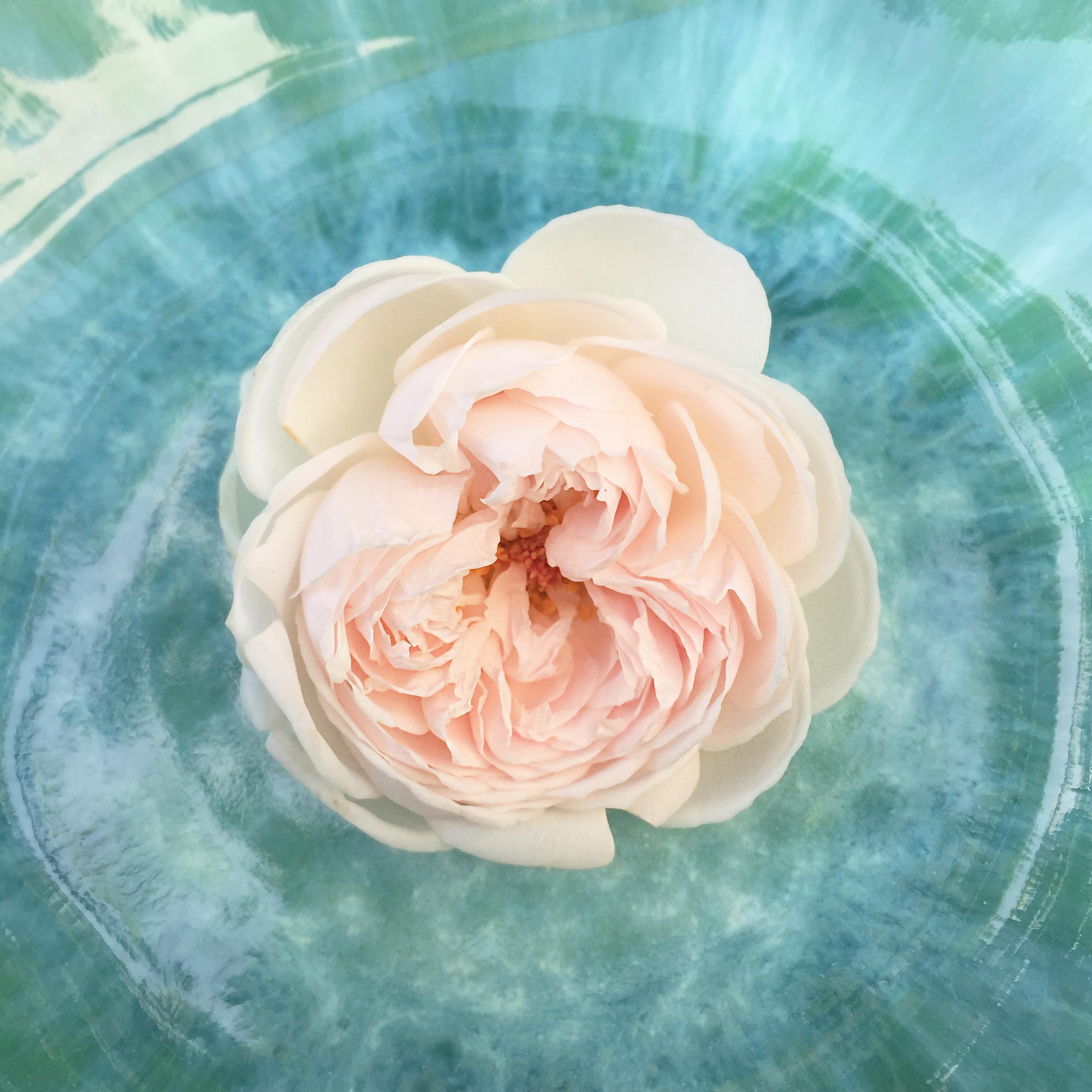 "Rose ""la belle rouet"" - http://homesweetambre.com/"